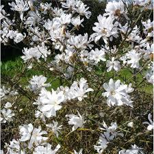 magnolia stellata tree buy starry magnolia shrubs trees