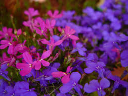 purple and blue flowers file blue and purple flowers against unfocused purple flowers jpg