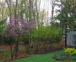 redbud native plant nursery minnesota strain redbud knecht u0027s nurseries u0026 landscaping