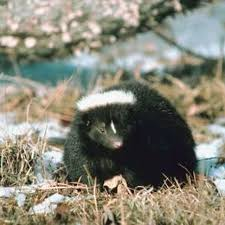 How To Get Rid Of A Skunk In Your Backyard Best 25 Skunk Repellent Ideas On Pinterest