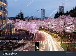 romantic scenery illuminated cherry blossom trees stock photo
