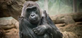 Columbus Zoo Lights by Columbus Zoo Announces Death Of Colo World U0027s Oldest Zoo Gorilla