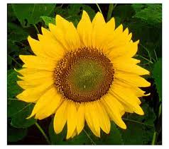 mirasol helianthus annuus l sun flower philippine medicinal