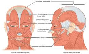 Surface Anatomy Eye Useful Notes On The Surface Anatomy Of Head And Neck Human Anatomy