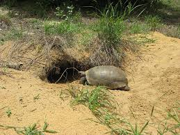 Snake Holes In Backyard What U0027s Digging Holes In My Yard The Gopher Tortoise And What