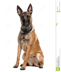 belgian sheepdog dog belgian shepherd dog malinois 1 year old stock photo image