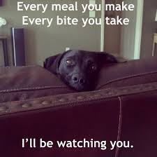 Chocolate Lab Meme - 12 best labrador memes of all time