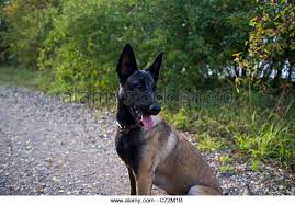 belgian malinois competition a belgian malinois stock photos u0026 a belgian malinois stock images