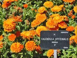 Calendula Flowers Calendula University Of Florida Institute Of Food And