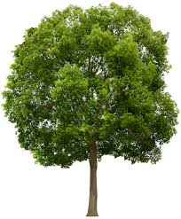 texture platanus tree trees lugher texture library