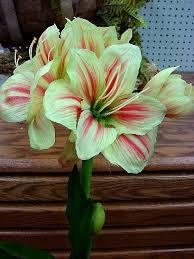 Silk Amaryllis Flowers - moose r us com potted silk amaryllis bulb very realistic flowering