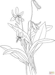 trout lily or fawn lily or dog u0027s tooth violet coloring page free
