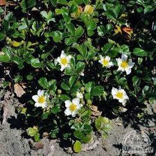plant profile for fragaria chiloensis strawberry perennial