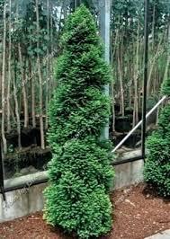 evergreen trees for garden exhort me