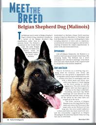 belgian shepherd exercise requirements belgian malinois for sport police personal protection and family