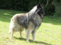 belgian sheepdog puppies price niavana belgian shepherds niavana belgian shepherds