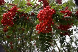 cooking with rowan berries