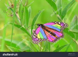 closeup photo beautiful monarch butterfly feeding stock photo