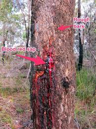 desert bloodwood tree 5b biology