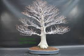 white tree japanese white beech bonsai tree fagus crenata all things bonsai