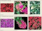 pictures &gt; <b>Nyctaginaceae</b>