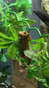 Halloween Crested Gecko Morph by 91 Best Reptiles Images On Pinterest Crested Gecko Geckos And