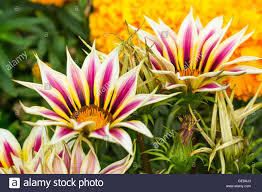 gazania rigens ornamental garden plant growing in the uk in