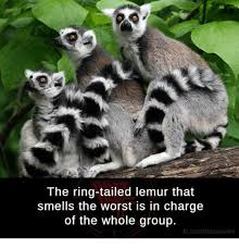 Lemur Meme - the ring tailed lemur that smells the worst is in charge of the