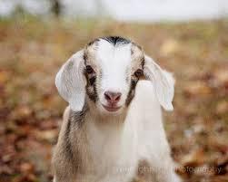 Goat Home Decor Baby Goat Photography Rustic Home Decor Farmhouse Decor