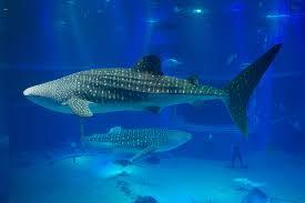 osaka aquarium kaiyukan japan top tips before you go with