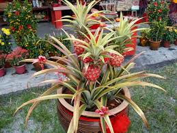 xing fu ornamental pineapple plant