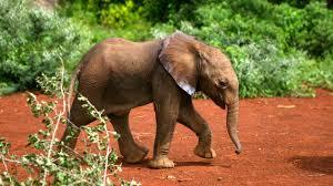 elephant calf walking wallpaper animal wallpapers 49255