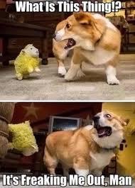 Corgi Birthday Meme - 25 irresistibly funny corgi meme sayingimages com