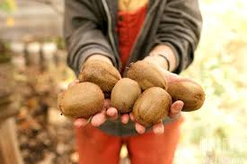 Best Fruit Trees For North Carolina - growing kiwis in north carolina food feature indy week