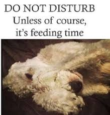 feeding a bedlington terrier dog quote featuring otto the bedlington terrier love my