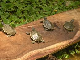 one of world u0027s rarest turtles gets second chance for survival