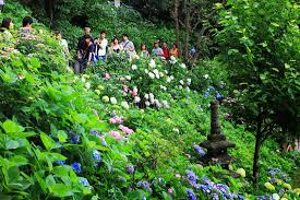 hydrangea garden in japan editorial photo image of 2014 52289956