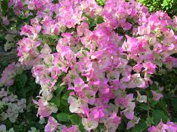 bougainvillea u0027pink and white surprise u0027 misc plants pinterest