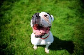 american pitbull terrier kingfish bloodline american pit bull terrier temperament test has shocking result