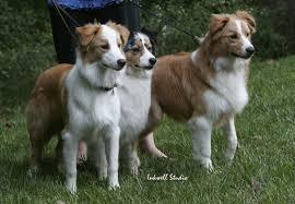 e locus australian shepherd sable and yellow australian shepherd health u0026 genetics institute