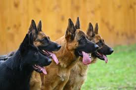 belgian sheepdog vs german shepherd 7 things you didn u0027t know about the black german shepherd animalso