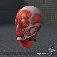 3d Head Anatomy Muscle Structure 3d Model In Anatomy 3dexport