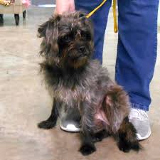 affenpinscher reviews evergreen kennels home facebook
