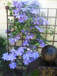 plantfiles pictures clematis early large flowered clematis u0027ken