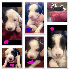 bearded collie x border collie puppies for sale gorgeous old english sheepdog x border collie pups in lanark