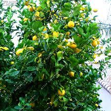 aliexpress buy zlking 20 pcs lemon seeds fresh juicing