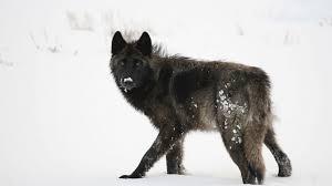 belgian shepherd gumtree download wallpaper id 1693312 desktop nexus animals wolves