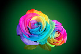 multicolor roses pictures of roses multicolor with leaves multi color