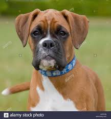 boxer dog with full tail undocked tail stock photos u0026 undocked tail stock images alamy