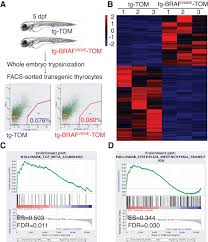 oncogenic braf disrupts thyroid morphogenesis and function via